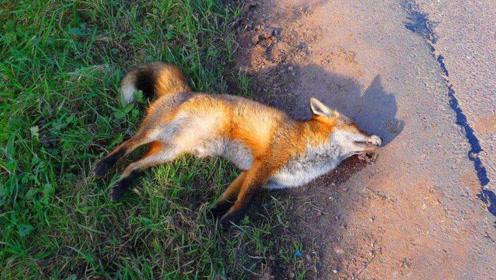 为什么说遇见狐狸千万不能打?不是迷信,有科学依据
