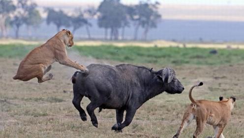 —狮子捕猎水牛,随时有被反杀的危险,那它们会有自控能力吗?