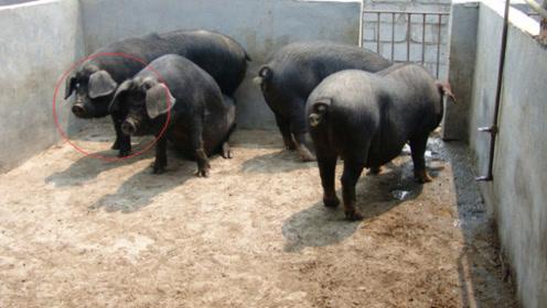 """非洲""""猪瘟"""",为什么在中国传播这么快,专家:这3点不得不说!"""