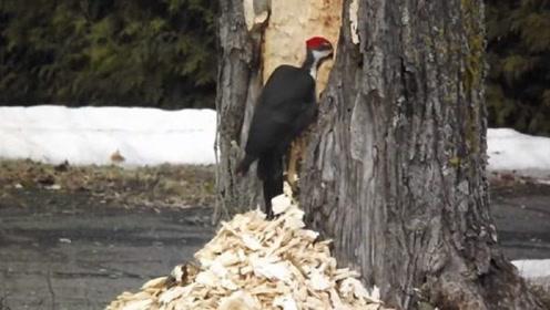 如果啄木鸟是医生的话,那它一定是庸医,树:求你给我个痛快吧