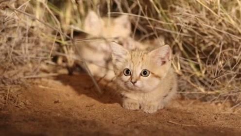 非洲的沙丘猫因可爱,被收养后濒临绝种,网友:那就住沙漠养一个