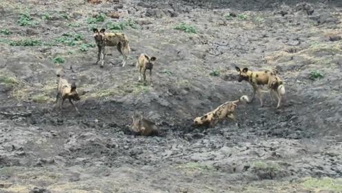 疣猪主动挑衅野狗群,事后挖坑将屁股埋进去,野狗当场懵圈了