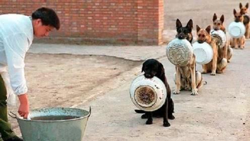 军犬到底有多聪明?要不是亲眼看到,说啥都不敢信这是真的