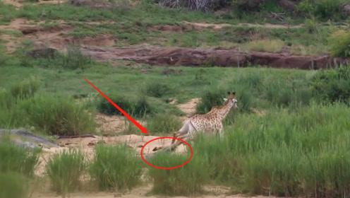 鳄鱼死死咬住长颈鹿,长颈鹿竟无法站起来,鳄鱼的咬合力这么强?
