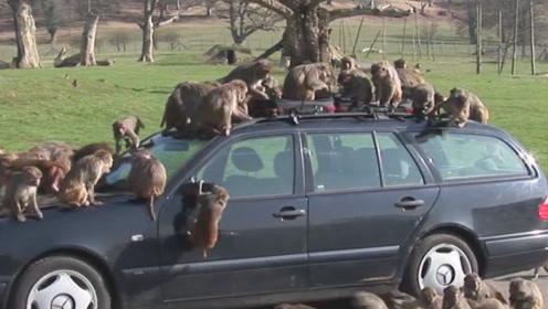 几十只狒狒糟蹋新车没人管?过完10小时后,才知道目的到底是啥
