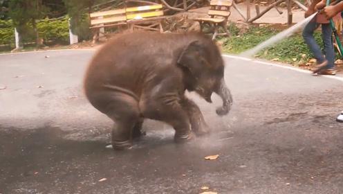 管理员正在冲洗公路,野生小象竟然要求他帮忙洗澡,太搞笑了吧