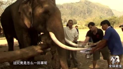 村民们割掉大象的牙齿,看起来很残忍,却只是为了它的安全