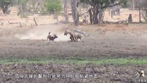 草原二哥惨遭野狗掏肛,全程竟毫无反抗之力,镜头拍下全过程