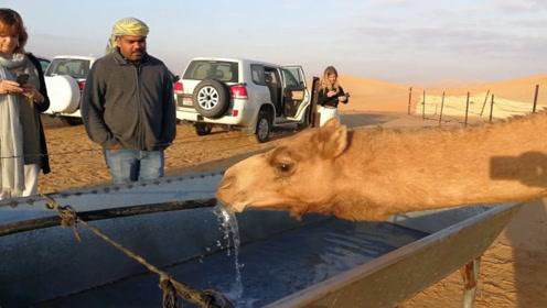骆驼几周没喝水了,刚看见水一口气就喝了120公斤,场面壮观!