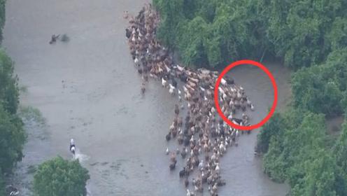 """上千头牛羊被困洪水,主人都要急哭了,下一秒""""奇迹""""发生了"""