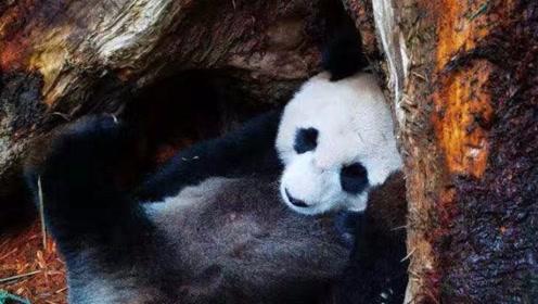 """喜讯!大熊猫""""乔乔""""野外引种成功 喜诞双胞胎"""