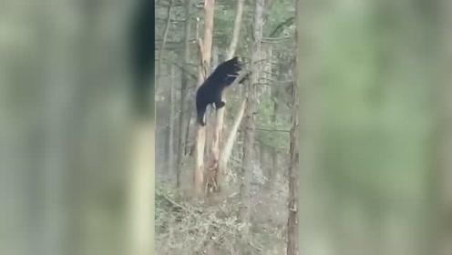 黑熊被挂树上下不来 专家到场救援放归山林