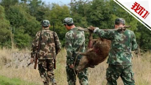 福建宁德山村成群野猪破坏庄稼 实拍狩猎队持枪围猎
