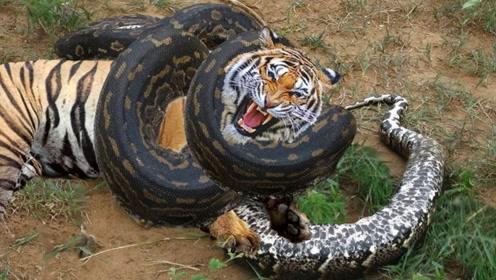 """老虎能轻易被反杀,为什么还能被称为""""万兽之王""""?走后门了?"""