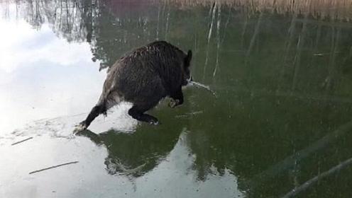 一只野猪被困在结冰湖面上,下一秒憋住别笑,镜头拍下搞笑瞬间