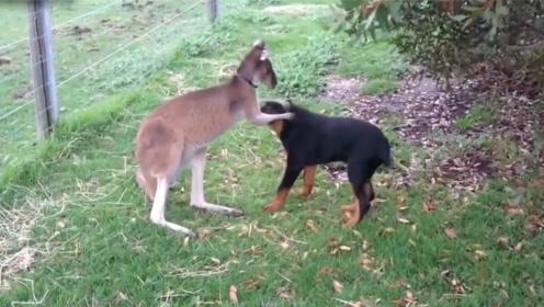 袋鼠第一次见到狗子,上来就套近乎,袋鼠:哥们,来亲一个