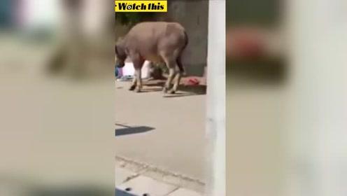 赶牛人被疯牛狂顶血流成河躺在地上起不来 路人拍下惊险一幕