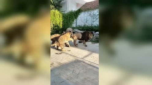 狮子:老虎,背后偷袭算什么本事,正面决斗敢不敢来!