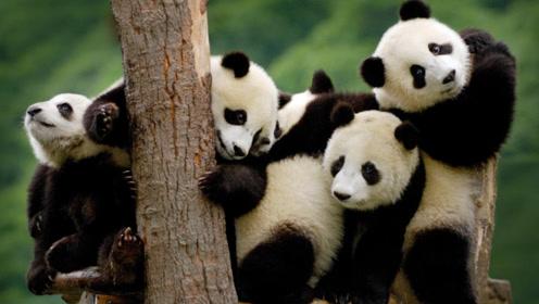 """熊猫树上练""""杂技"""",却被""""猪队友""""咬住屁股,下一秒意外发生"""