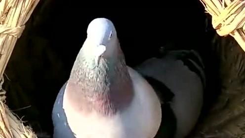 农村偶遇奇葩事,鸽子把鸡的窝给占了,后果会怎样呢?