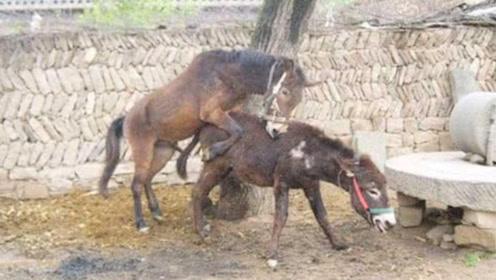 为什么骡子都是杂交?看看马和驴都做了什么好事,实在是辣眼睛!