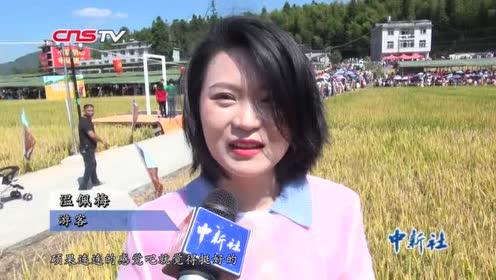 福建闽侯千亩稻田翻滚民众乐享丰收喜悦
