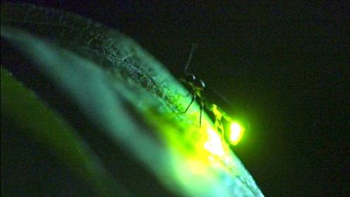 为什么萤火虫的屁股会发光,尾部灯熄了是不是就死了?涨知识了!