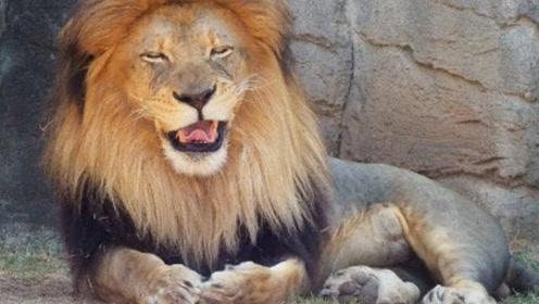 雄狮为什么狂笑不止,难道谈恋爱了吗?知道真相后恍然大悟
