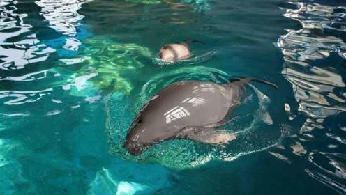 全球第一头!全人工繁育二代江豚满百日:喝母乳,还接受投喂