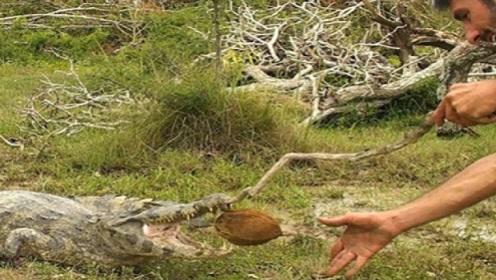 老外作死把椰子塞进鳄鱼嘴里,测试鳄鱼咬合力,镜头记录全过程