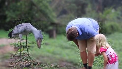 最通人性的鸟中傻大个:鳄鱼皮都能轻松刺破,却会对游客鞠躬!