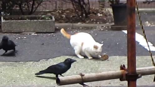 猫咪在吃东西,乌鸦从背后咬猫尾巴,求喵星人心理阴影面积