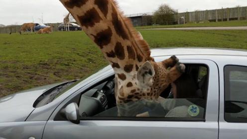 饥肠辘辘的长颈鹿把头伸进车窗,女子吓的立即关窗,意外发生
