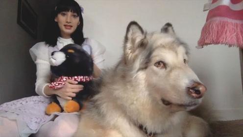 女子救下巨无霸阿拉斯加犬,不舍放生,10年后,却是这番景象