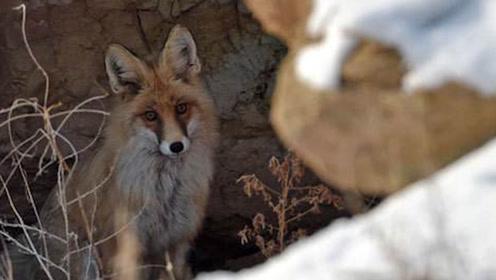 """为什么狐狸喜欢在""""墓穴""""里做窝?老人的一番话,激起一身冷汗!"""