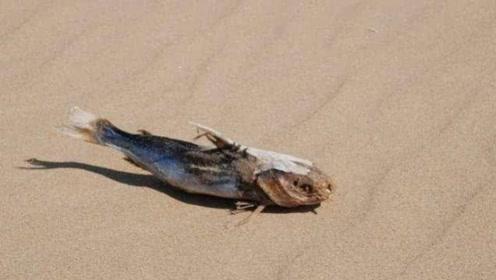 """命最""""硬""""的鱼,如今仅剩37条,却还在沙漠苦苦挣扎!"""