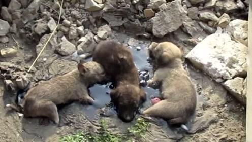 三只被沥青黏住的小狗狗,看它们是怎样被救治的?太扎心!