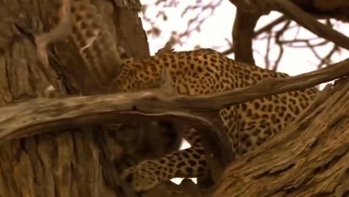 老鹰捕食猎豹宝宝后,惨遭猎豹报复,将它老巢一锅端了