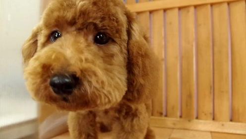 朋友家超漂亮的赛级贵宾犬,这小家伙真真堪称是盛世美颜!