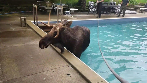 一头驼鹿掉入游泳池,被困数小时终获救