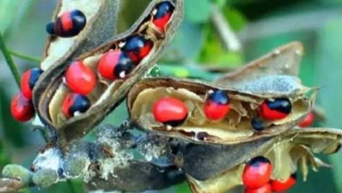 世界上最毒的植物:一颗就足以毙命,却被人装饰成工艺品!