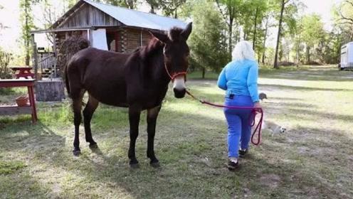 马和驴都能生育,为什么生下的骡子,却不能生育呢?