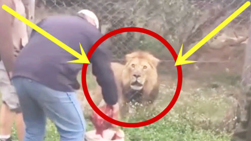 饲养员给狮子喂食,突感狮子眼神不对劲,幸好他跑得快!