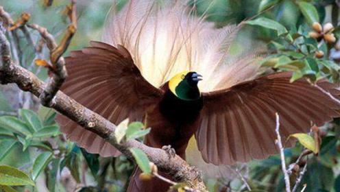 最像凤凰的鸟类,身长1.1米,只现身人迹罕至的丛林