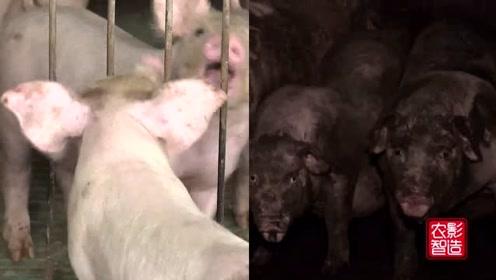 这家养猪场一点都不臭,猪粪便也都直接变成钱了,咋回事?