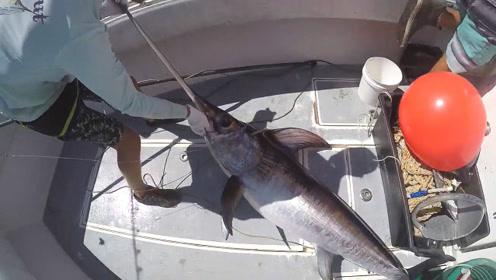 几米长的大鱼,头上的大宝剑就有一米了!