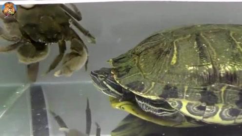 没有天敌的巴西龟,连大螃蟹都吃,也不怕把自己的牙崩了