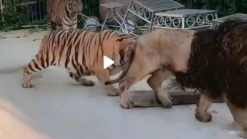 狮子马上要发怒了,老虎还在作死边缘徘徊,镜头记录全过程