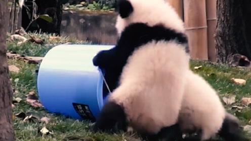 两只小熊猫抢水桶,一只趁机钻到了水桶里,接下来的画面让人笑喷