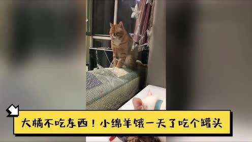 这只新到家的橘猫太凶主动挑衅,吓得铲屎官与原住猫只能躲起来